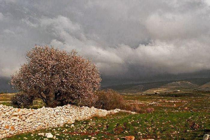gush-etzion-mandelbluete_chaya